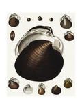 Scientific Illustrations of Clam Shell Variations Print