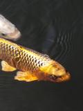 Orange Koi Fish Style Plakaty autor Wonderful Dream