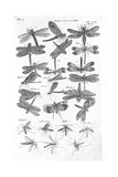 Winged Insects in Black and White Prints