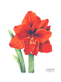 Close-Up of Red Amaryllis with Stems Premium Giclee Print