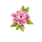 Single Pink Peony Flower Posters