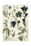 Blue Flowered Plants with Segment of Grapevine with Clustered Fruit Print