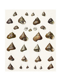 Scientific Illustrations of Pointed Seashells Art