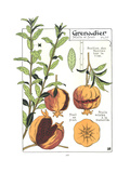Botanical Drawing of Pomegranates in Different Views Impressão giclée premium