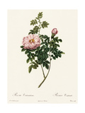 Pink Rose and Bud with Leaves on Stems Premium Giclee Print