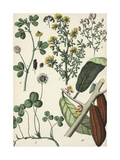 Clover with Blossoms and Seed Pods Prints