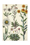 Daisies and Dandelions Prints