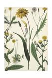 Scientific Drawing of Multiple Dandelions Prints