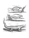 Black and White Scientific Illustrations of Chameleons and Crocodile Plakater