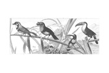 Scientific Drawing of Toucans with Birds on Grassy Stems Prints