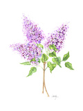 Short Branch with Three Dense Heads of Lilac Flowers Premium Giclee Print