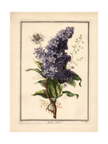 Purple Lilac with Green Leaves Posters