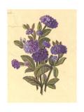 Purple Hydrangeas Bouquet Premium Giclee Print