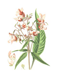 Botanical Drawing of Pink Impatiens Prints