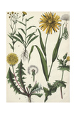Dandelions in a Variety of Stages Poster