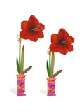 Watercolor of Two Amaryllis Plants in Vases Premium Giclee Print
