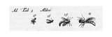 Scientific Illustrations of Winged Insects in Black and White Prints