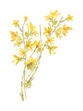 Watercolor of Forsythia Flowers and Branches Prints
