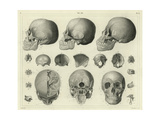 Anatomical Etchings of Human Skulls Art
