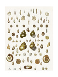 Seashell Variations Scientific Illustration Posters