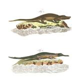 Alligator Scientific Illustrations Posters