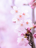 Pink Cherry Blossom Japan Art by  Wonderful Dream