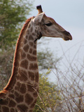 African Giraffe Savanna Prints by  Wonderful Dream