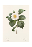 Botanical Drawing of White Camellia Flower Print