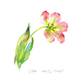 Pink Watercolor Tulip with Wide Open Petals Prints