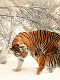 Tiger Family In The Snow Prints by  Wonderful Dream