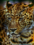 Gepard Leopard Cat Wildlife Poster by  Wonderful Dream