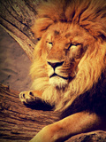 Lion Wildlife Cat Animal Africa Posters by  Wonderful Dream