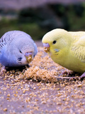 Eating Budgie Bird Wildlife Reproduction procédé giclée par  Wonderful Dream