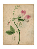Pink Sweet Pea Flower with Vine on Texture Poster