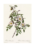 White Roses on Curvy Leafy Stem Posters