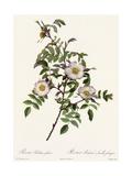 White Roses on Curvy Leafy Stem Premium Giclee Print