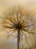 Dandelion Flower Nature Prints by  Wonderful Dream