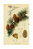 Pine Branches and Cones Poster