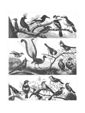 Black and White Bird Illustrations Premium Giclee Print