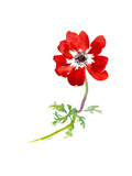 Watercolor-Style Red Poppy Premium Giclee Print