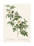 White Roses with Leaves on Stems Premium Giclee Print
