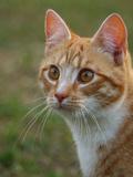 Dangerous Tiger Cat Reprodukcje autor Wonderful Dream