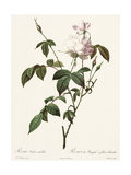 White Roses and Buds with Leaves on Stems Print