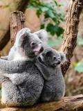 Australian Koala Bear Animal Giclée-tryk af  Wonderful Dream