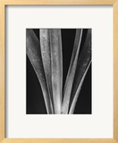 Lily Stalks Posters by Brett Weston