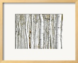 Birch Wood Print by  PhotoINC