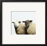 Sheep Standing Side by Side Print by Adrian Burke