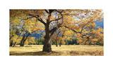 Yosemite Black Oaks Giclee Print by Loren Soderberg