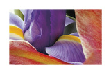 Iris Opening Giclee Print by Harold Davis