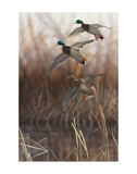 Whisper Wind and Wing - Mallards Prints by Richard Clifton